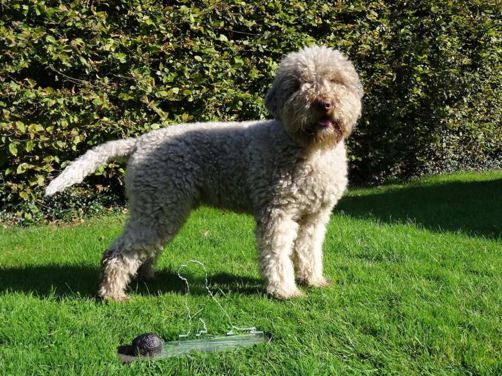 Lagotto-Avalon.JPG