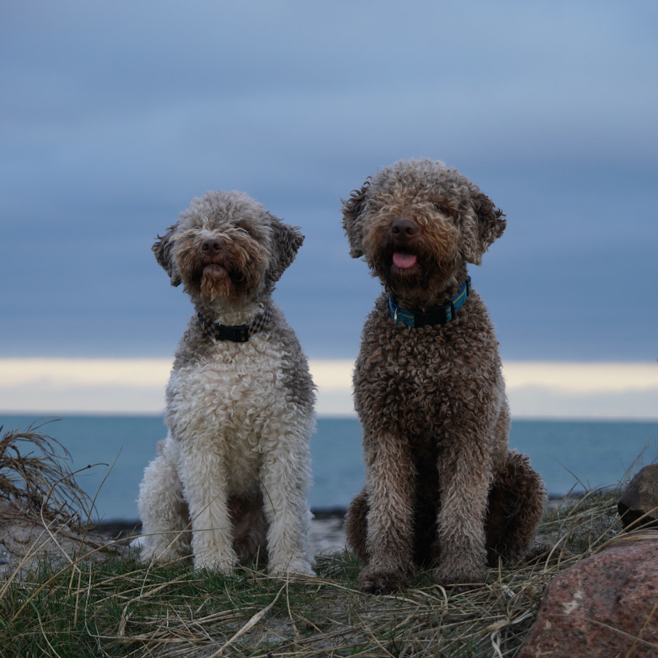 lagotto-nord.jpeg